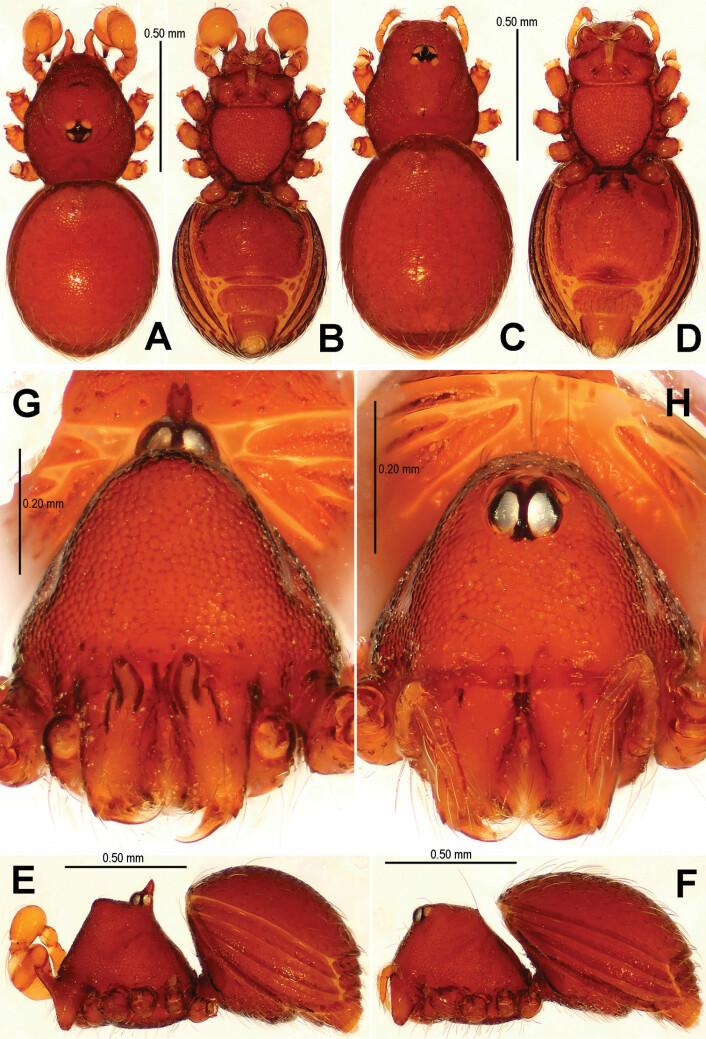 Dette er den nyoppdagede Tetrablemma menglaensis. Til venstre ser du en hunn, til høyre en hann. (Foto: Lin Y, Li S (2014) New cave-dwelling armored spiders (Araneae, Tetrablemmidae) from Southwest China)