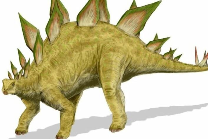 Stegosaurusens rumpehjerne skulle ifølge teorien styre dyrets bakdel. (Foto: (Illustrasjon: Arthur Weasly))