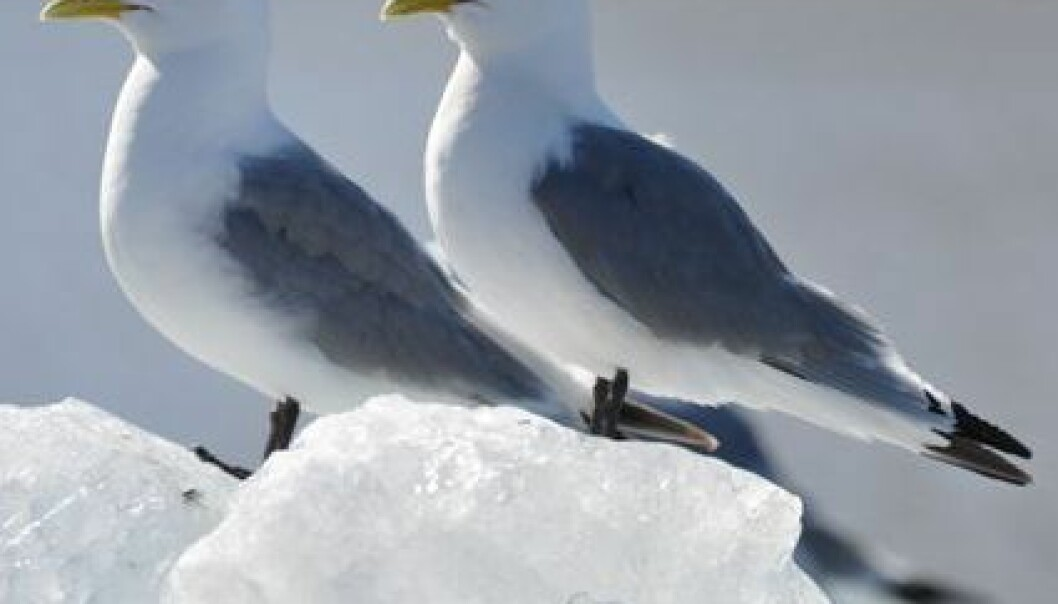 Klimaendret sjøfugl på Svalbard