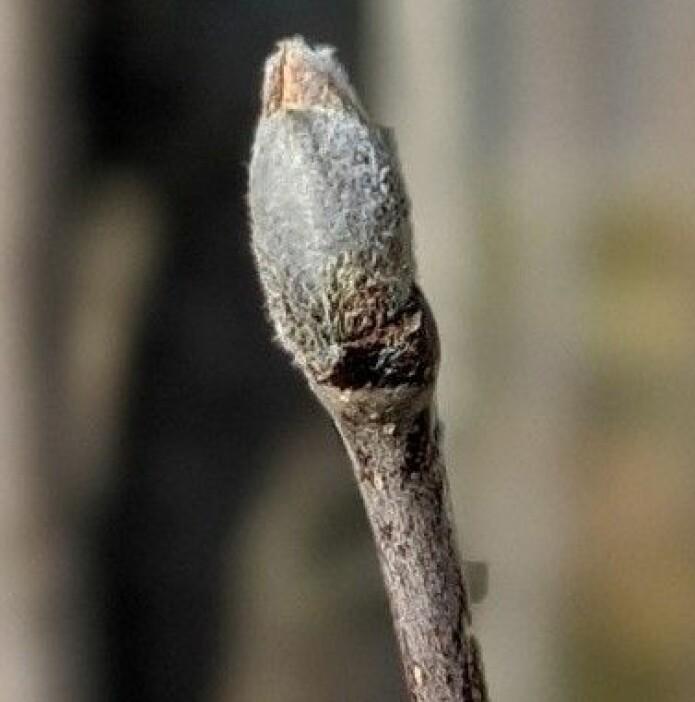 Ein rogneknopp, klar til å sprette når varmen kjem. Knoppane er store, blanke og mørkt brunfiolette, med fine, sølvfarga hår som gjev dei ein lys gråfarge. Foto: Inger Auestad