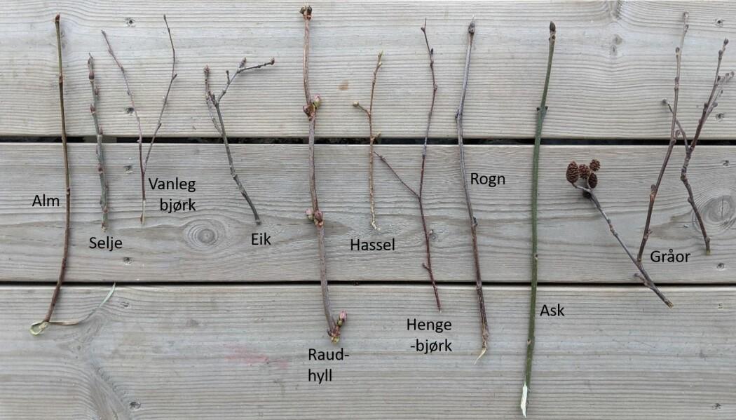 Ni vanlege, norske lauvtreslag. I tillegg veks også bøk, spisslønn, lind, svartor, osp, hegg og svarthyll vilt i Noreg. Foto: Kyrre Groven.