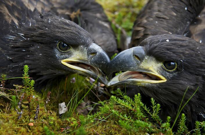 Havørna var nesten utryddet i Norge da den ble fredet i 1968. Siden den gang har bestanden økt kraftig og fredningen er en av Norges største naturvernssuksesser gjennom tidene. (Foto: Ingun A. Mæhlum)