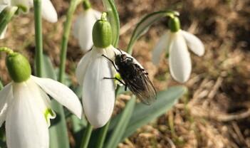 Nå finner du de første insektene i hagen