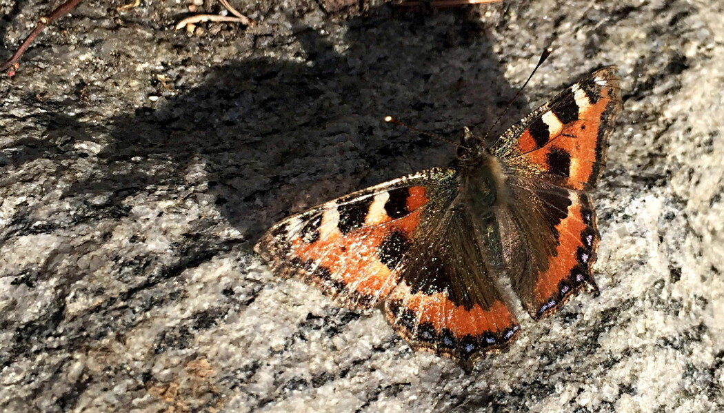 Neslesommerfuglen er ute på vingene allerede i midten av mars. Den er litt slitt på vingene etter overvintringen. Den kommer til å leve frem til den har fått lagt eggene sine på nesleplanter, men det tar litt tid før de begynner å spire.