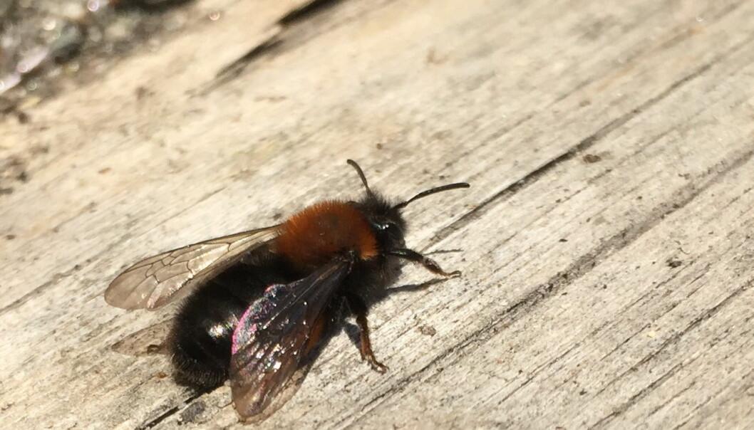 Vårsandbien er en av de solitære biene du vil oppdage aller tidligst på våren. Både hunner og hanner har rødt bryst, og hunnene har også røde hår på bakbeina. De lager reir i bakken.