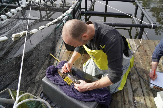 Hvordan beveger torsken seg under gyting? Her klargjør havforsker Esben Moland Olsen gyteklar torsk til overvåking på Havforskningsinstituttets stasjon i Flødevigen.