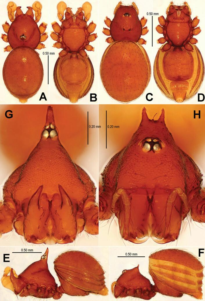 Sinamma oxycera er også nyoppdaget. Navnet har den fått etter det greske oxycerus, som betyr spisst horn. Til venstre en hann, til høyre en hunn. (Foto: Lin Y, Li S (2014) New cave-dwelling armored spiders (Araneae, Tetrablemmidae) from Southwest China)