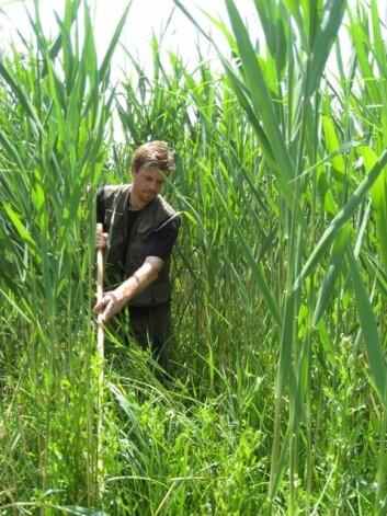 Bård G. Stokke leter etter gjøkereir i en takrørskog i Bulgaria. (Foto: Frode Fossøy)