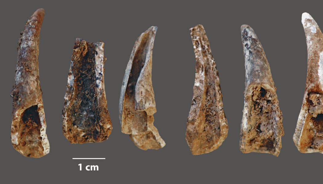 Dette er klørne fra vanlig taskekrabbe, som er knekt og fortært av neandertalere, sannsynligvis.