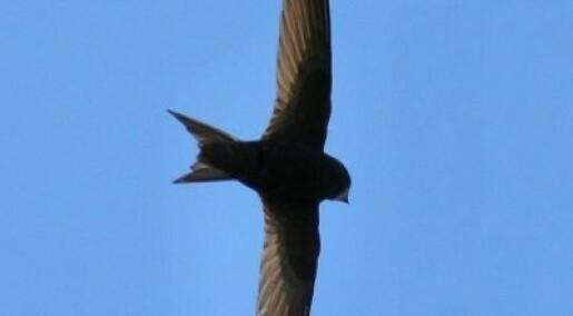 Bakgrunn: Ukens fugl: Tårnseiler