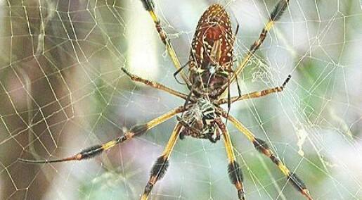 Edderkoppsilke sterkere enn stål