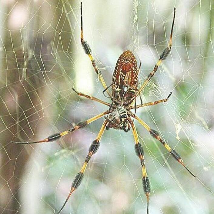 Edderkopper er for aggressive til å produsere silke kommersielt, men nå har forskere funnet råd. (Foto: C. Frank Starmer / Wikipedia)