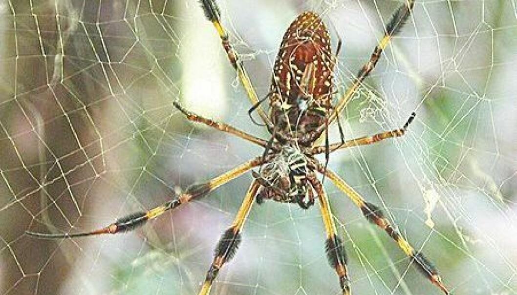 Edderkopp blir superkriger etter kastrasjon
