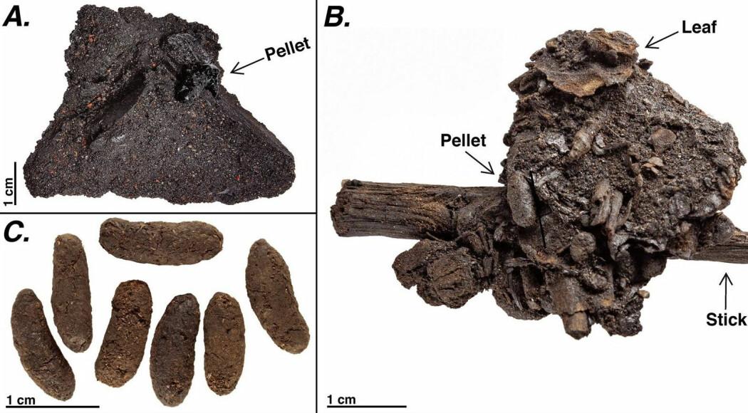 Bilde A viser hvordan rottebæsjen satt inne i asfalten. Pellet betyr lort. Bilde B viser lort sammen med rester fra planter. Bilde C viser rotte-lorter etter at forskerne hadde fått dem ut av asfalten.