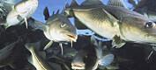 Mye torsk i Barentshavet påvirker andre fiskeslag