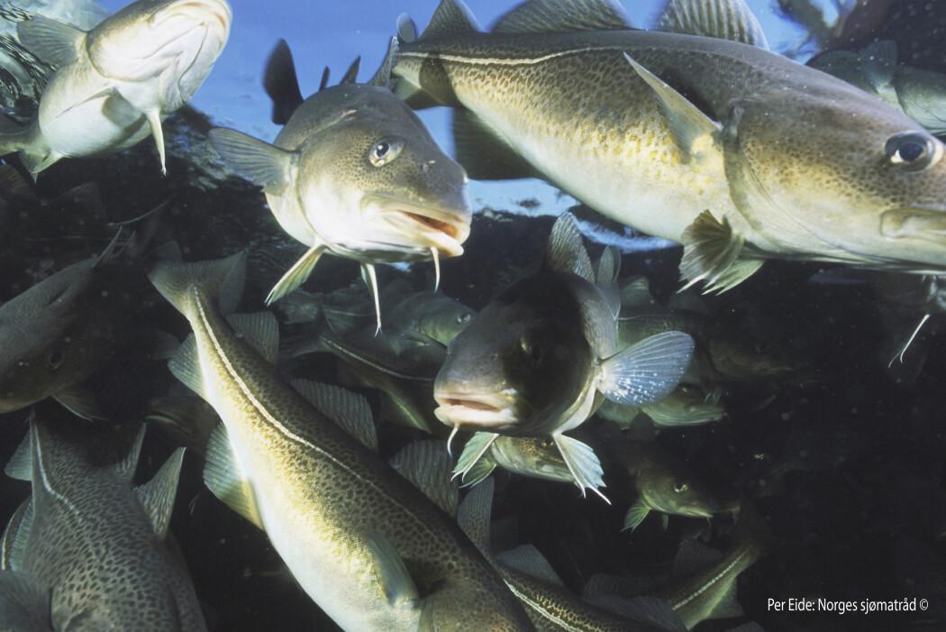 Torsken er høyt oppe i næringskjeden i havet og fisken har større innvirkning på resten av fiskesamfunnet enn hva forskere tidligere har vært klar over.