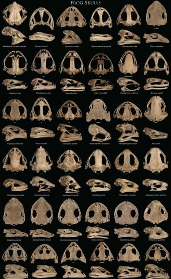 De fleste frosker har glatte hodeskaller. Men noen er taggete, forsterkede eller bare rare.