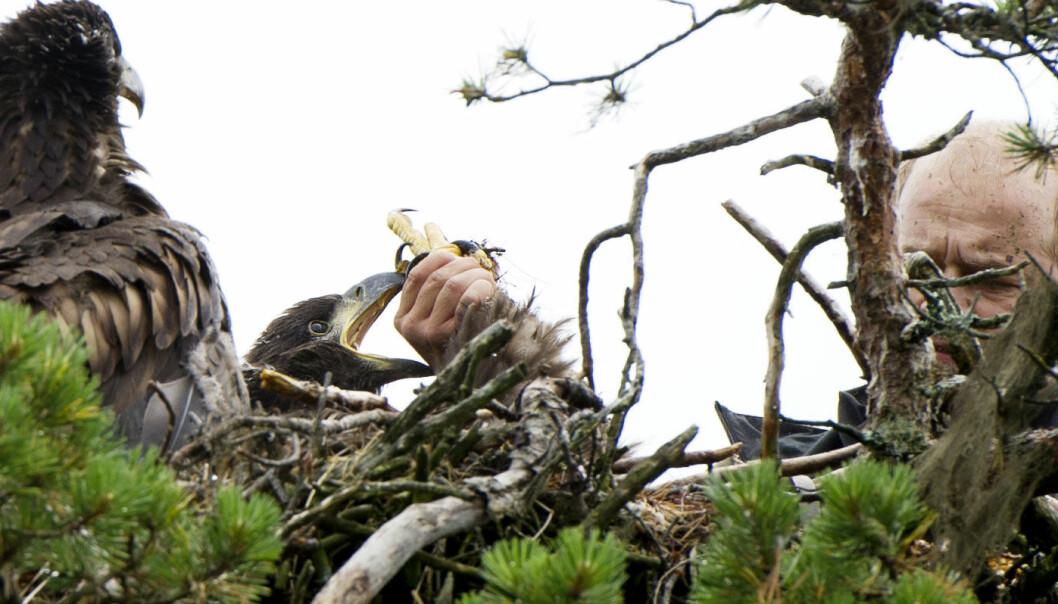 Havørnungene er ikke spesielt interessert i å bli med forsker Trond Johansen ned på bakken. Men forskningen kan gi oss viktige svar på hvordan miljøgifter påvirker fuglene på toppen av næringskjeden. Ingun A. Mæhlum
