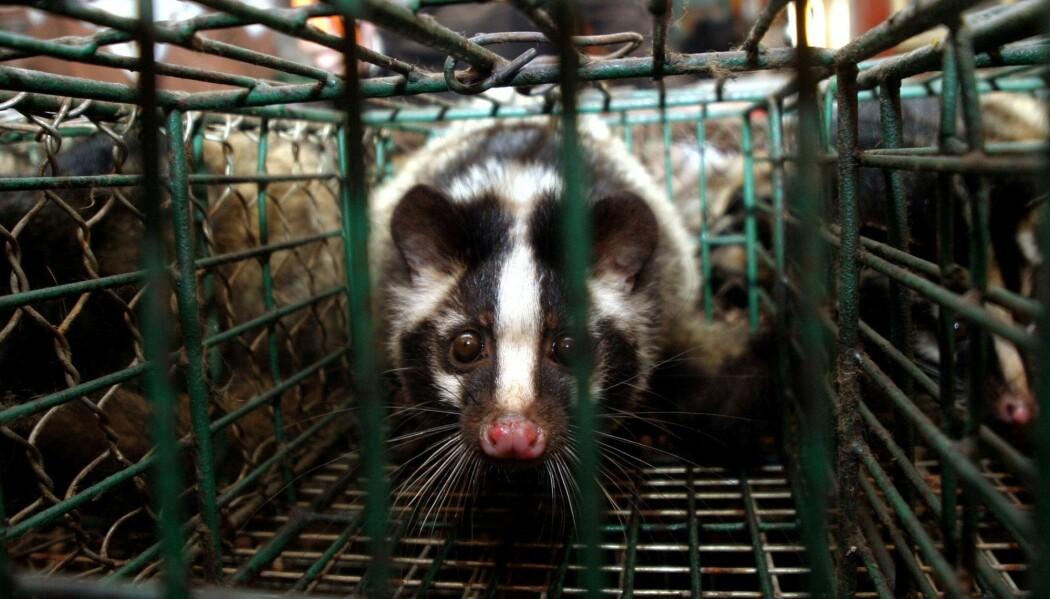 En sibetkatt i et bur på et marked i Guangdong provinsen, sør i Kina. Sibetkatter var bærere av SARS-viruset som oppstod i desember i 2003. SARS hadde en dødelighet på rundt 10 prosent og ble stoppet før det ble en pandemi.