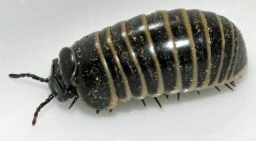 Ukas art: Kuletusenbein – panserkule til besvær