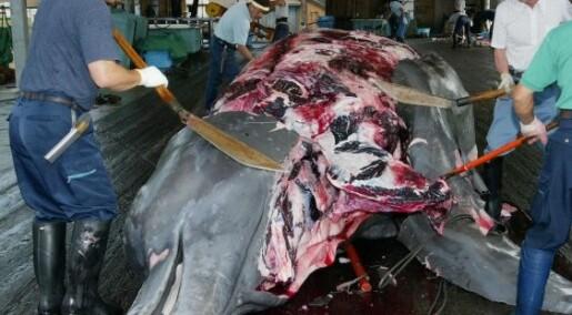 Foreslår kvotesystem for hvalfangst