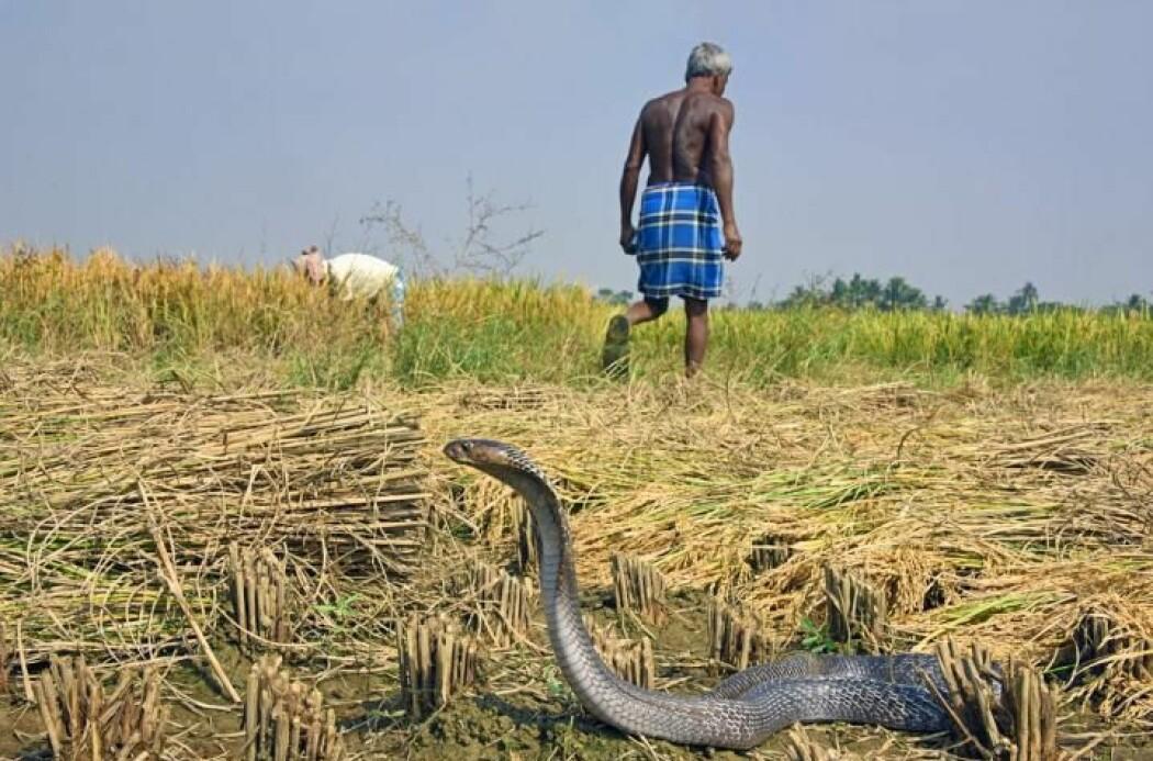 Hvert år biter den indiske kobraen (Naja naja) millioner av mennesker i selvforsvar. Men det er ikke sikkert den har utviklet giften for å forsvare seg