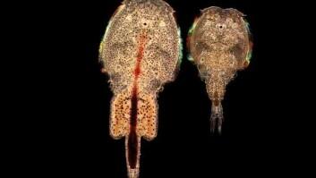Effektene av lakselus kommer på toppen av andre og store naturlige svingninger i miljøet som påvirker laksens overlevelse. (Foto: Havforskningsinstituttet)