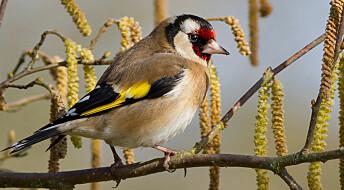 Ukens fugl: Stillits