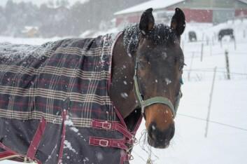 Hest med dekken. (Foto: Morten Günther)