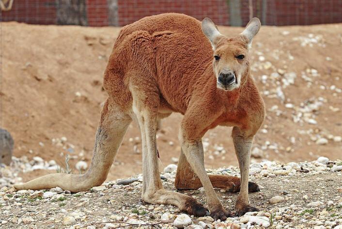 Den røde kenguruen (Macropus rufus) er et av de få gjenlevende megafauna-medlemmene i Australia. Hannene kan bli opp mot 2,5 meter lange med halen, og kan hoppe 9 meter i ett hopp. (Foto: flagstaffotos.com.au/Wikimedia Commons)