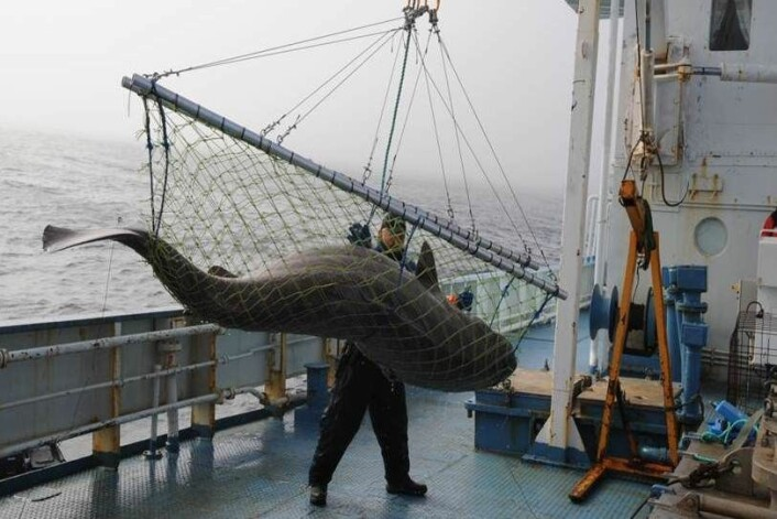 De store dyrene som ble hentet opp fra dypet og undersøkt, ga forskerteamet fra NTNU og Norsk Polarinstitutt flere overraskelser. (Foto: Kristine Molde)