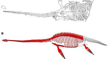 Fant ny art på Svalbard: «Britney» var en arktisk svaneøgle med lite hode og enorme øyne