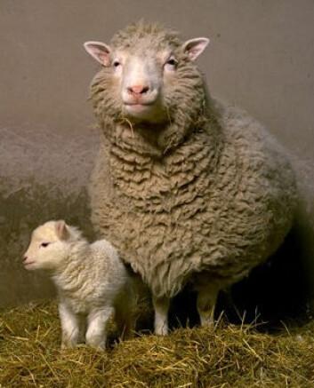 """""""Dolly sammen med sitt første lam, Bonnie, som ble født i april 1998. Sauen fødte tre lam til i 1999. (Foto: Roslin Institute)"""""""