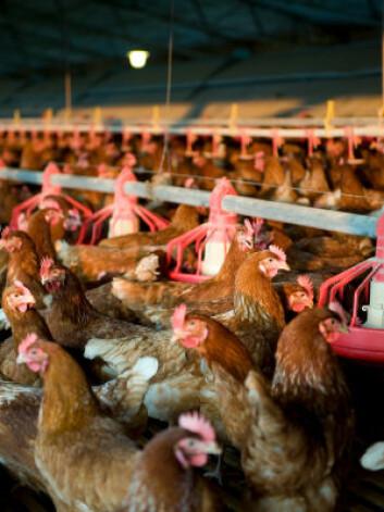 Sannsynligvis kommer H7N9-smitten fra fugl, men det er ennå usikkert. En rekke spørsmål står igjen før man kan si noe om hvor farlig viruset er.(Foto: Istockphoto)