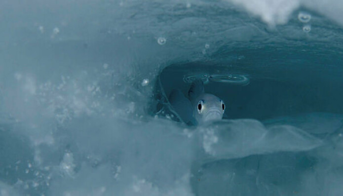 Polartorsk regnes som en nøkkelart i Arktis. Den livnærer seg av planktonorganismer og er selv viktig føde for torsk og seler, hvaler og sjøfugl.