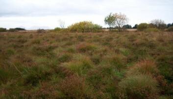 Denne myra på Smøla ble dyrket for 30 år siden, og har begynt å ligne naturlig våtmarksområder igjen. Forskerne foreslår nå å hjelpe naturen komme dit fortere - og på den måten stoppe klimautslipp. (Foto: Arne Grønlund)
