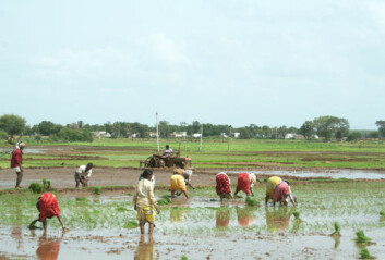 Landsbyer i den sørlige delen av delstaten Andhra Pradesh er omfattet av den nye studien. Her ses tradisjonelle risdyrkere  fra dette området. (Foto: Asle Rønning)