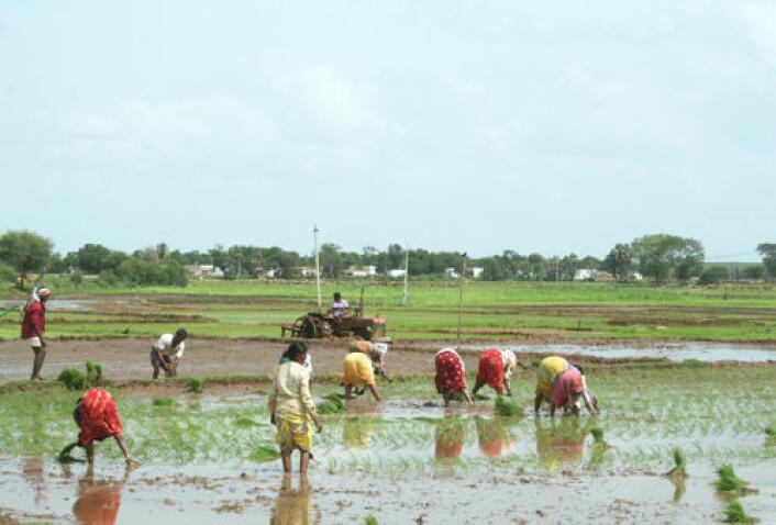 Ris dyrket på tradisjonell måte krever mye vann og arbeidskraft, som her i delstaten Andhra Pradesh. Med usikre klimatiske forhold kan bøndene trenge et arsenal av mer robuste metoder. (Foto: Asle Rønning)