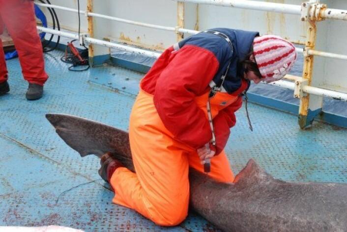 Blodprøvene som forskerne tok av de haiene rundt Svalbard, viste stor opphoping av miljøgifter. (Foto: Kristine Molde)