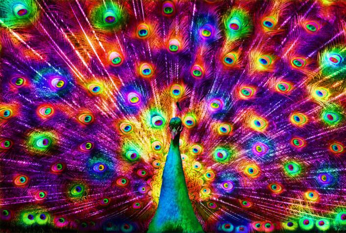 """""""Er det slik en spurv ser en påfugl? Kanksje ikke, men forskerne får mer og mer grep om hvordan fugler ser farger. Men vi kan jo aldri komme inn i hjernen deres, sier fugleforsker Arild Johnsen. (Manipulasjon av Per Byhring. Opprinnelig foto: Benson Kua/ Wikimedia Commons)"""""""