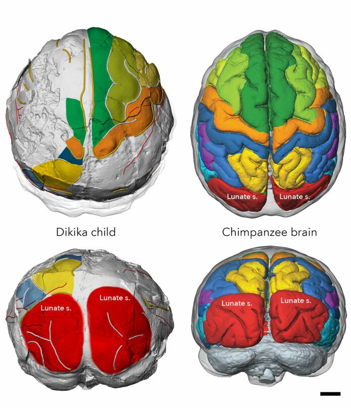 Ved hjelp av teknologi kunne forskerne undersøke innsiden av kraniene grundig. Det gjorde at de kunne sammenligne hjernestrukturen til A. afarensis og sjimpanser.