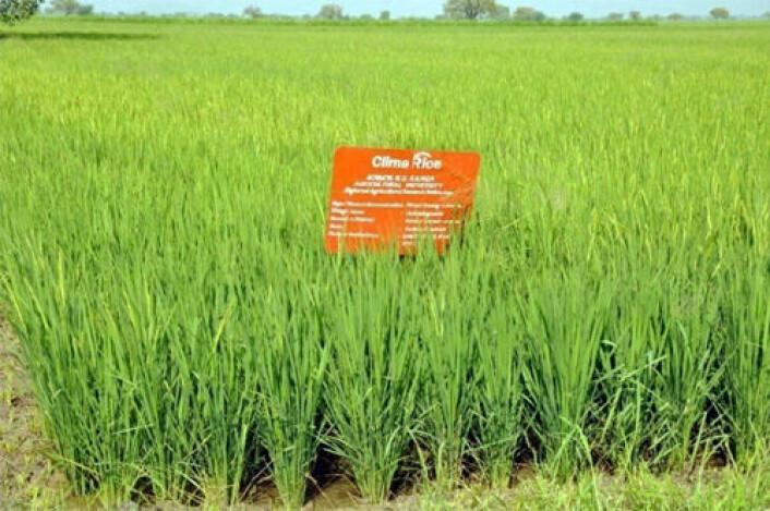 Forsøk med direkte såing av ris i to indiske landsbyer viser redusert vannforbruk og bedre økonomi for bøndene. (Foto: IWMI, Hyderabad)