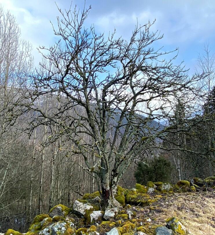 Om vinteren manglar rognetreet blad, men den vide krona er godt synleg. Vi ser også at dette gamle, fleirstamma rognetreet er dekka med lav og mose. Foto: Idunn Auestad.
