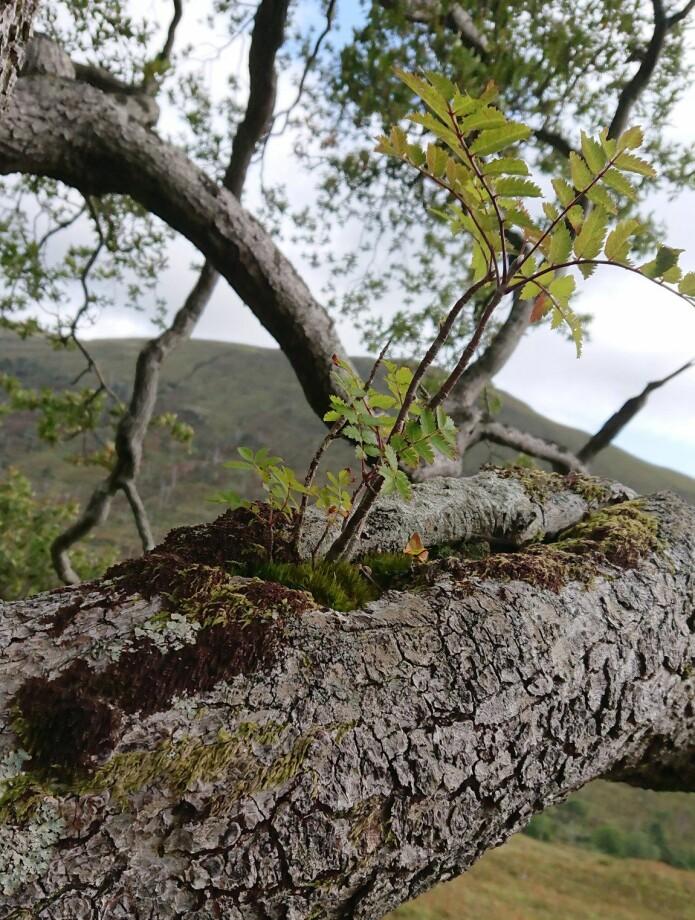 Ei spretten lita flogrogn som ser ut til å trivast svært godt oppe i ei gammal eik i Glen Mallie, Lochaber i det skotske høglandet. I tillegg til å få rikeleg med lys i høgda, er rogna her i trygg avstand frå svoltne beitedyr. Foto: John MacDonald,