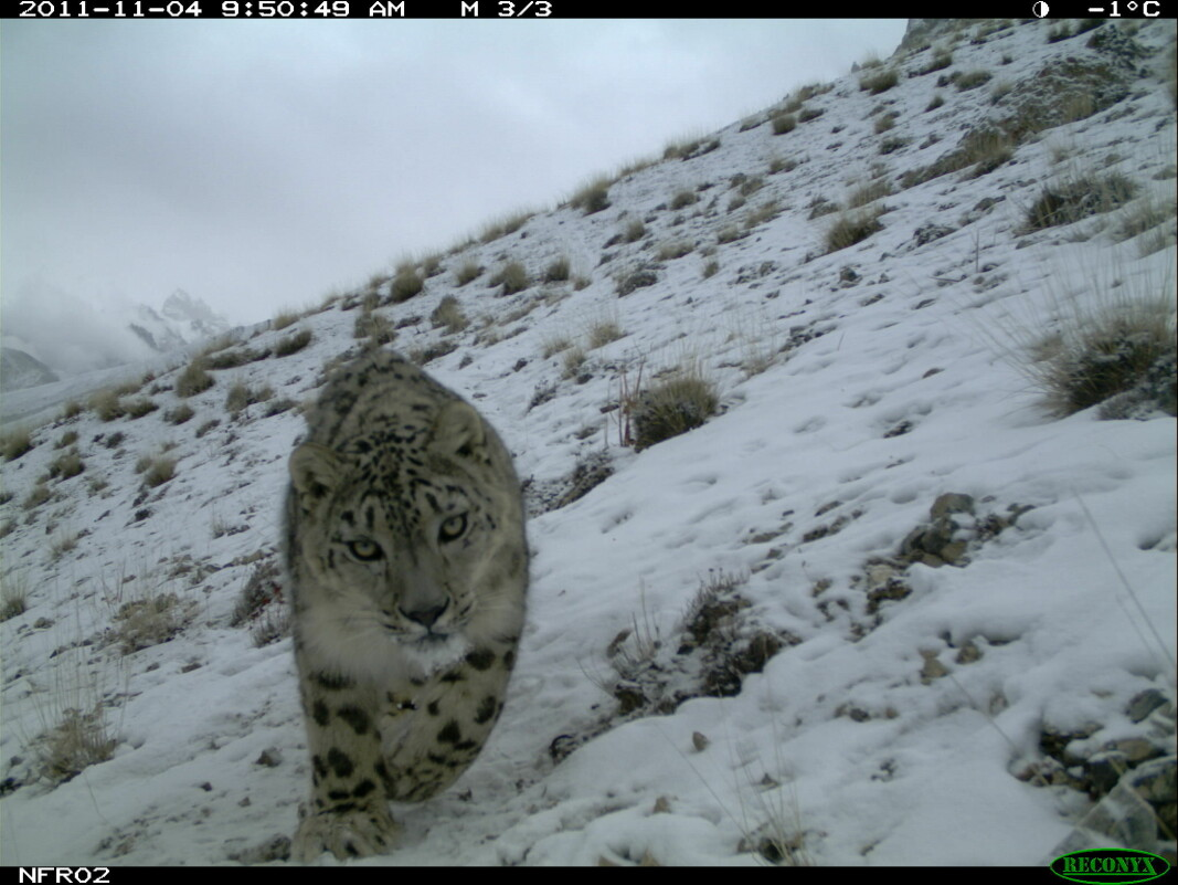 Picture of snow leopard taken with a wildlife camera.