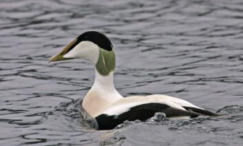 Hannen er finest i fargen, som går i svart, hvitt og grønt, mens hunnene har brun kamuflasjefarge som hos de fleste ender. (Foto: Hans Petter Kristoffersen / Skog og landskap)