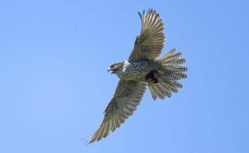 Jaktfalk er en akrobat i lufta og en fantastisk god flyger. (Foto: Thor Østbye)