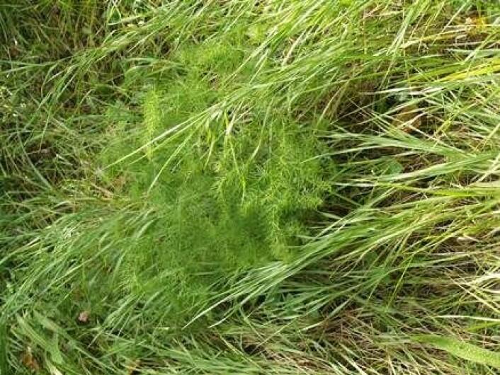 Ikke så lett å se at dette er en arpargesplante, forvillet innimellom tett gress på en strand. (Foto: Stephen Barstow)