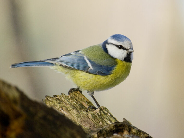 """""""Den kjente og kjære blåmeisens fargeprakt står ikke tilbake for mer eksotiske fuglers farger. Sławek Staszczuk/ Wikimedia Commons. Se lisens.)"""""""