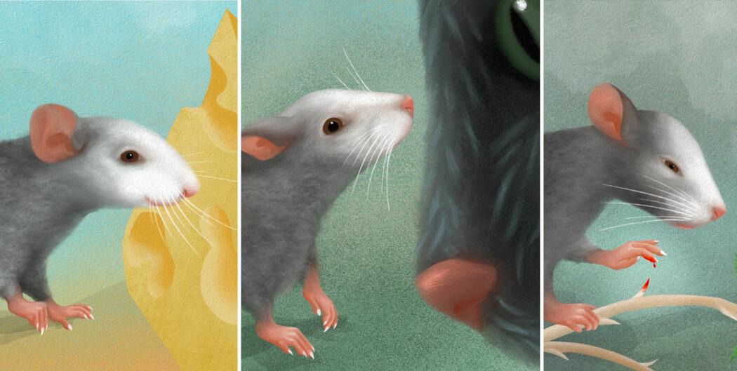 Ansiktsuttrykkene til mus avslører hva de føler, akkurat slik våre gjør. Nå har kunstig intelligens lært seg å kjenne dem igjen.